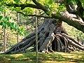 根上松 Neagari Pine - panoramio.jpg