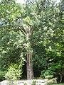 榧の木.JPG