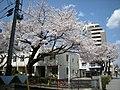 武蔵野簡裁の桜 - panoramio.jpg