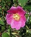 肉桂薔薇 Rosa majalis -波蘭華沙 Powsin PAN Botanical Garden, Warsaw- (36457236272).jpg