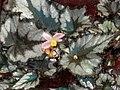 蛤蟆秋海棠 Begonia rex Magma -香港公園 Hong Kong Park- (37422677645).jpg