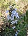銀斑百里香 Thymus vulgaris -匈牙利 Tihany Abbey, Hungary- (27200725223).jpg