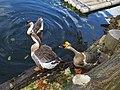 鵝 Geese - panoramio (2).jpg