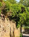 053 2015 05 10 150-jähriger Efeustock (Wiki Loves Earth 2015).jpg
