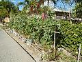 05537jfCabaducan East Beans Ambassador Village Nampicuan Nueva Ecijafvf 14.JPG