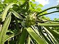 06567jfMayapyap Pula Fruits Talavera Cabanatuan Ecijafvf 05.JPG