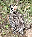 072 - MONTEZUMA QUAIL (8-22-2015) harshaw rd, santa cruz co, az -12 (20610559470).jpg