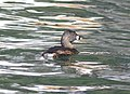 096 - PIED-BILLED GREBE (3-25-09) SLOCO, CA (8722115638).jpg