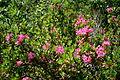 0 Rhododendron hirsutum - Samoëns (2).JPG