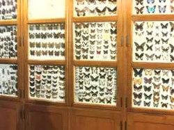 Vlindercollectie in het Missiemuseum van de Missionarissen van Steyl