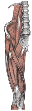 1918 edition of Gray's Anatomy of the Human Body, fig 430.png