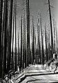 1943. Douglas-fir stand conditions. Stimson Lumber Company. T1S R6W Sec. 2. Tillamook Burn, Oregon. (34171619654).jpg