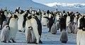 2007 Snow-Hill-Island Luyten-De-Hauwere-Emperor-Penguin-05.jpg