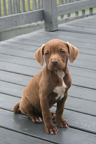 American Pit Bull Terrier - An American Pit Bull Terrier puppy