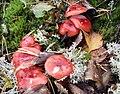 2009-09-19 Russula emetica Fr 76146.jpg