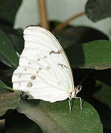 Borboleta Branca | A borboleta-branca (Morpho laertes) é uma… | Flickr