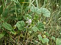 20120624Malva neglecta2.jpg
