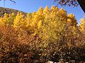 2013-10-15 13 24 40 Aspen and dogwood at Power House Picnic Site in Lamoille Canyon.JPG