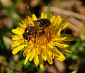2014-04-06 15-39-50 abeille.jpg