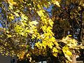 2014-11-02 15 41 21 Silver Maple foliage during autumn along Glen Mawr Drive in Ewing, New Jersey.JPG