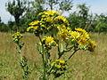 20140613Jacobaea vulgaris3.jpg