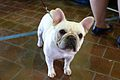 2014 Westminster Kennel Club Dog Show (12452119384).jpg