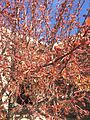 2015-03-25 13 59 58 Early spring Crabapple foliage and flower buds on Idaho Street (Interstate 80 Business) near 9th Street in Elko, Nevada.JPG