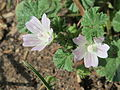 20150521Malva neglecta1.jpg