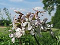 20150625Saponaria officinalis1.jpg