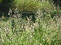 20150630Agrostis capillaris1.jpg