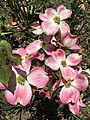 2016-04-20 12 59 08 'Cherokee Brave' Pink Flowering Dogwood blossoms along Tranquility Court in the Franklin Farm section of Oak Hill, Fairfax County, Virginia.jpg