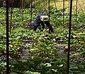 2016-07-03 Daio Wasabi Farm 大王わさび農園 DSCF0277 (cropped).jpg
