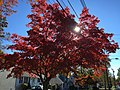 2016-11-06 10 15 31 Red Japanese Maple during autumn along Terrace Boulevard between Farrell Avenue and Wallace Avenue in Ewing, Mercer County, New Jersey.jpg