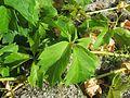 20160810Parthenocissus quinquefolia2.jpg