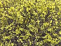 2017-02-28 15 17 33 Forsythia blossoms at the intersection of Franklin Farm Road and Stone Heather Drive in the Franklin Farm section of Oak Hill, Fairfax County, Virginia.jpg