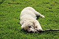 2017-07-06 Hunde Berlin-Karow 03.jpg