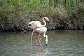 20170425 133 Camargue Flamingo (34078999180).jpg