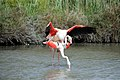 20170425 144 Camargue Flamingo (34079067800).jpg