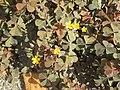 20180828Oxalis corniculata1.jpg