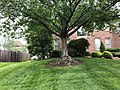 2019-05-11 13 23 39 A Red Maple in a lawn with a mound of exposed roots at the base along Cobra Lane in the Chantilly Highlands section of Oak Hill, Fairfax County, Virginia.jpg
