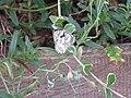 2019-07-01 (103) Melanargia galathea (marbled white) at Bichlhäusl, Tiefgrabenrotte, Frankenfels, Austria.jpg