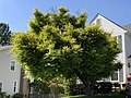 2020-05-13 15 58 47 A green-leaved Japanese Maple along Virginia Willow Drive in the Franklin Glen section of Chantilly, Fairfax County, Virginia.jpg