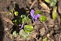 20210327 Viola odorata.jpg