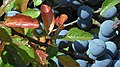 2 Prunus spinosa.jpg