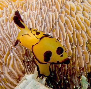 <i>Berthella martensi</i> species of mollusc