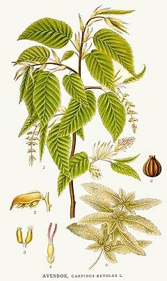 Pflanzen Mitteleuropas (Bildband)/ Ordo Fagales ...