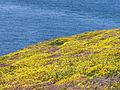 4000.Cap Frehel-Das aus rotem Sandstein und schwarzen Schiefer bestehende Kliffdach ist bedeckt von Wiesen aus vielfarbigen Heidekraut,Stechginster und Erika.JPG