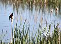 4480 redwing ladd marsh munsel odfw (4438946016).jpg