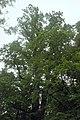 61-204-5030 дуб Велетень.jpg