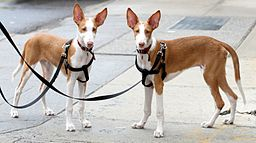6 month old ibizan hounds